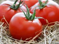 Почему плохо растут помидоры — 155 фото и видео описание выращивания томатов в открытом грунте и парниках