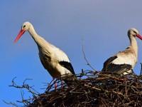 Гнездо аиста — постройка и обустройство гнезда для аиста своими руками (видео + 110 фото)