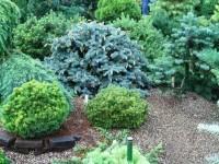 Хвойные растения для сада: обзор лучших хвойных растений и особенности их применения в ландшафтном дизайне
