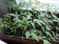 Как сажать помидоры — 155 фото высаживания и выращивание томатов своими руками