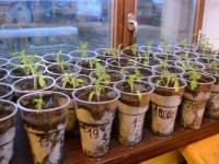 Рассада помидор: пошаговое описание выращивание от А до Я. 130 фото и видео мастер-класс