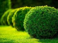Самшит: оформление сада и участка, особенности выращивания и ухода (видео + 140 фото)