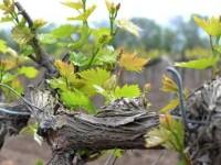 Саженцы винограда — особенности посадки и технология выращивания винограда (видео + 125 фото)