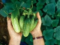 Сорта огурцов — самые урожайные сорта для посадки в средней полосе. 120 фото лучших грунтовых сортов