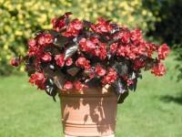Бегония: ТОП-150 фото цветка. Инструкция по посадке, уходу и выращиванию в домашних условиях. Рекомендации садовника от А до Я