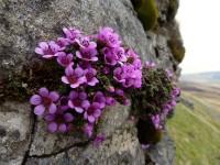 Камнеломка: характеристики и виды. Особенности выращивания камнеломки в домашних условиях. Секреты посадки, полива, размножения. Фото и видео-обзоры от садоводов