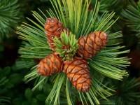 Кедровое дерево: ТОП-120 фото видов и сортов. Особенности посадки кедрового дерева на даче. Польза и применение дерева в медицине и быту. Видео-советы по уходу