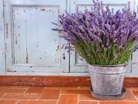 Лаванда: ТОП-150 фото, лечебные свойства, секреты выращивания и ухода в домашних условиях