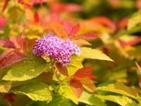 Спирея: ТОП-160 фото разновидностей. Описание сортов и видов. Особенности посадки и выращивания куста в открытом грунте. Видео-инструкции по уходу от садоводов