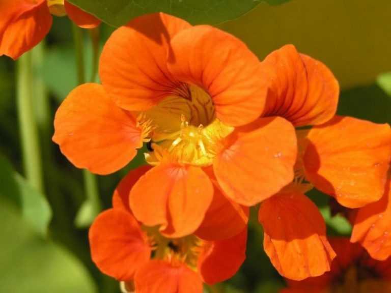 цветы настурция посадка и уход фото фото которого